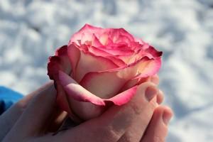rose-1246479_640