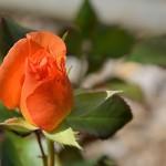 rose-1389428_640