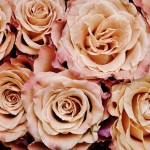 roses-366170_640